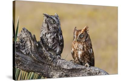 Eastern Screech Owl, Otus Asio, roosting in tree-Larry Ditto-Stretched Canvas Print