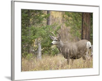 Rocky mountain mule deer buck, Signal Mountain, Grand Tetons National Park, Wyoming, USA-Maresa Pryor-Framed Photographic Print