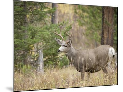 Rocky mountain mule deer buck, Signal Mountain, Grand Tetons National Park, Wyoming, USA-Maresa Pryor-Mounted Photographic Print