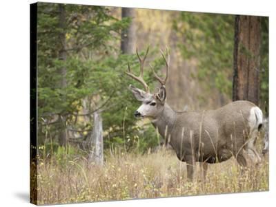 Rocky mountain mule deer buck, Signal Mountain, Grand Tetons National Park, Wyoming, USA-Maresa Pryor-Stretched Canvas Print