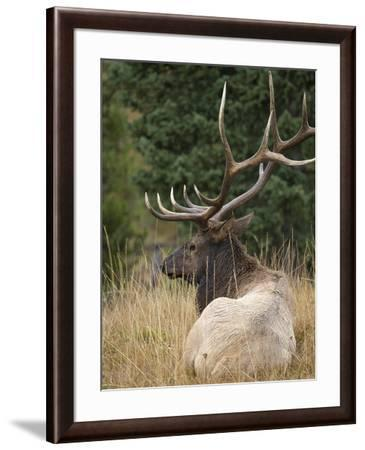 Rocky mountain bull elk resting, Yellowstone National Park, Wyoming-Maresa Pryor-Framed Photographic Print