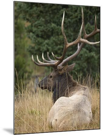 Rocky mountain bull elk resting, Yellowstone National Park, Wyoming-Maresa Pryor-Mounted Photographic Print