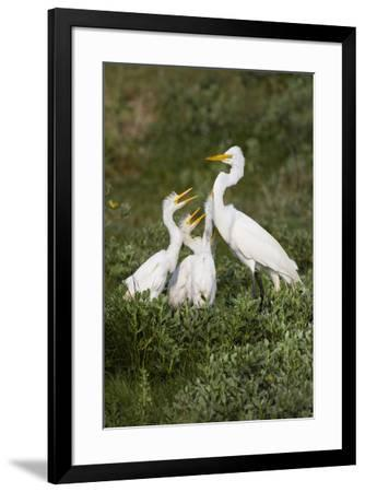 Great Egret, Ardea alba, feeding young-Larry Ditto-Framed Premium Photographic Print
