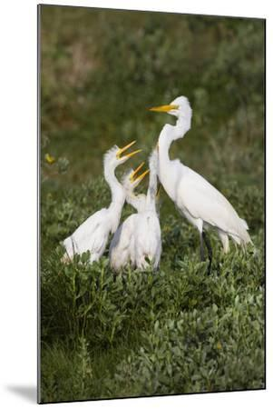 Great Egret, Ardea alba, feeding young-Larry Ditto-Mounted Premium Photographic Print