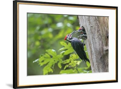 USA. Washington State. Male Pileated Woodpecker feeds begging chicks-Gary Luhm-Framed Premium Photographic Print