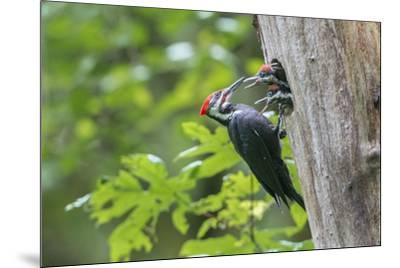 USA. Washington State. Male Pileated Woodpecker feeds begging chicks-Gary Luhm-Mounted Premium Photographic Print