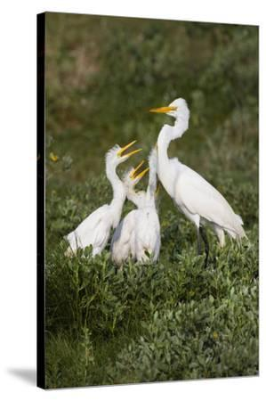 Great Egret, Ardea alba, feeding young-Larry Ditto-Stretched Canvas Print