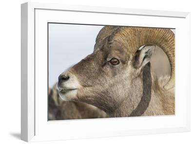 USA, Wyoming, National Elk Refuge, Bighorn sheep ram-Elizabeth Boehm-Framed Premium Photographic Print