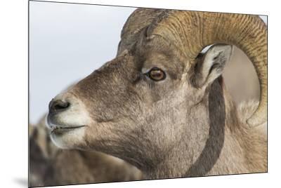 USA, Wyoming, National Elk Refuge, Bighorn sheep ram-Elizabeth Boehm-Mounted Premium Photographic Print