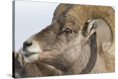 USA, Wyoming, National Elk Refuge, Bighorn sheep ram-Elizabeth Boehm-Stretched Canvas Print