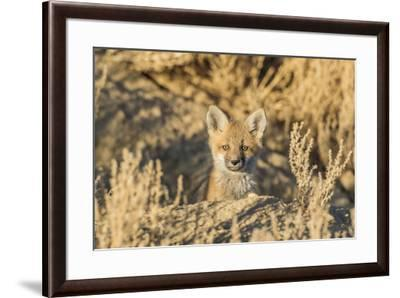 USA, Wyoming,  red fox kit peers from it's den in the desert.-Elizabeth Boehm-Framed Premium Photographic Print