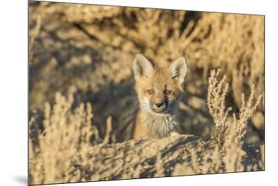 USA, Wyoming,  red fox kit peers from it's den in the desert.-Elizabeth Boehm-Mounted Premium Photographic Print