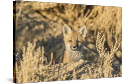 USA, Wyoming,  red fox kit peers from it's den in the desert.-Elizabeth Boehm-Stretched Canvas Print