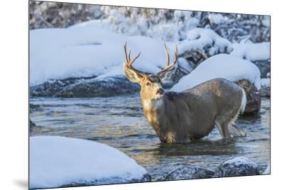 USA, Wyoming, A mule deer buck crosses Pine Creek-Elizabeth Boehm-Mounted Premium Photographic Print