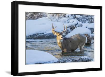 USA, Wyoming, A mule deer buck crosses Pine Creek-Elizabeth Boehm-Framed Premium Photographic Print