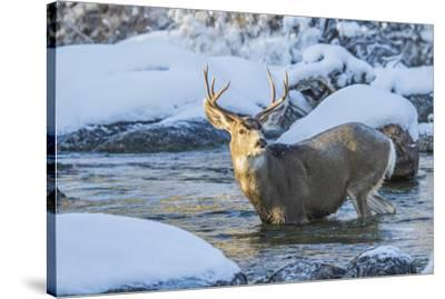 USA, Wyoming, A mule deer buck crosses Pine Creek-Elizabeth Boehm-Stretched Canvas Print