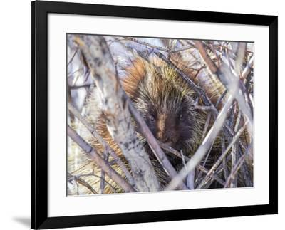 USA, Wyoming, porcupine sits in a willow tree in February.-Elizabeth Boehm-Framed Photographic Print