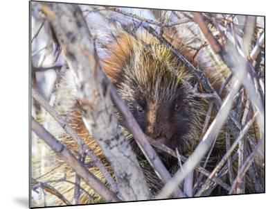 USA, Wyoming, porcupine sits in a willow tree in February.-Elizabeth Boehm-Mounted Photographic Print