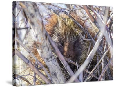 USA, Wyoming, porcupine sits in a willow tree in February.-Elizabeth Boehm-Stretched Canvas Print