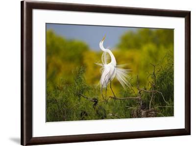 Great Egret, Ardea alba, displaying-Larry Ditto-Framed Premium Photographic Print