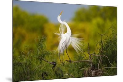 Great Egret, Ardea alba, displaying-Larry Ditto-Mounted Premium Photographic Print