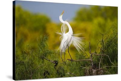 Great Egret, Ardea alba, displaying-Larry Ditto-Stretched Canvas Print