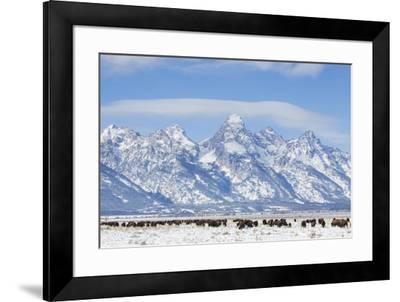 USA, Wyoming, Grand Teton National Park, Bison herd grazing in winter-Elizabeth Boehm-Framed Premium Photographic Print