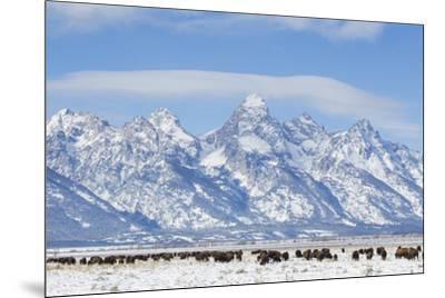 USA, Wyoming, Grand Teton National Park, Bison herd grazing in winter-Elizabeth Boehm-Mounted Premium Photographic Print
