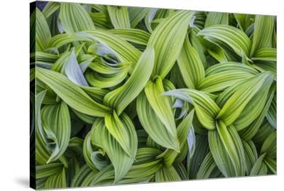 USA. Washington State. False Hellebore leaves in abstract patterns.-Gary Luhm-Stretched Canvas Print