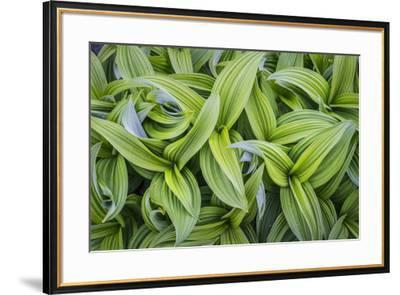 USA. Washington State. False Hellebore leaves in abstract patterns.-Gary Luhm-Framed Premium Photographic Print