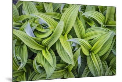 USA. Washington State. False Hellebore leaves in abstract patterns.-Gary Luhm-Mounted Premium Photographic Print