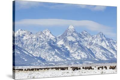 USA, Wyoming, Grand Teton National Park, Bison herd grazing in winter-Elizabeth Boehm-Stretched Canvas Print