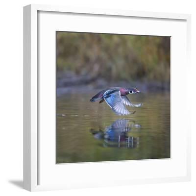 USA, Washington State. male Wood Duck, Aix Sponsa, flies over a marsh.-Gary Luhm-Framed Photographic Print