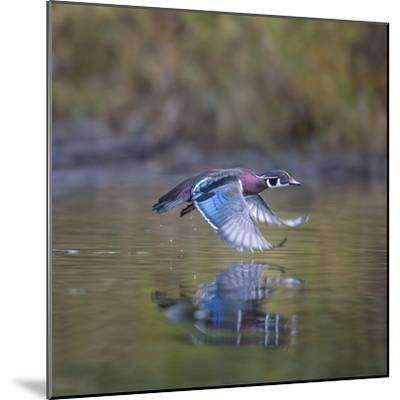 USA, Washington State. male Wood Duck, Aix Sponsa, flies over a marsh.-Gary Luhm-Mounted Photographic Print