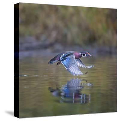 USA, Washington State. male Wood Duck, Aix Sponsa, flies over a marsh.-Gary Luhm-Stretched Canvas Print