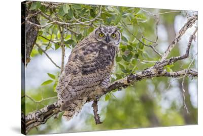 USA, Wyoming,  recently fledged Great Horned Owl roosts in a cottonwood tree.-Elizabeth Boehm-Stretched Canvas Print