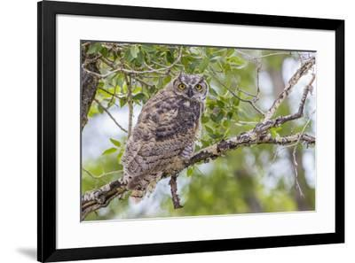 USA, Wyoming,  recently fledged Great Horned Owl roosts in a cottonwood tree.-Elizabeth Boehm-Framed Premium Photographic Print
