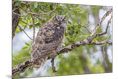 USA, Wyoming,  recently fledged Great Horned Owl roosts in a cottonwood tree.-Elizabeth Boehm-Mounted Premium Photographic Print