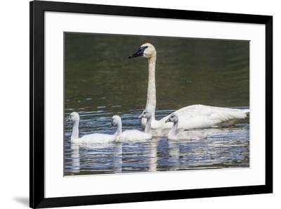 USA, Montana, Red Rock Lakes, Elk Lake, Trumpeter Swan swims with its chicks-Elizabeth Boehm-Framed Premium Photographic Print