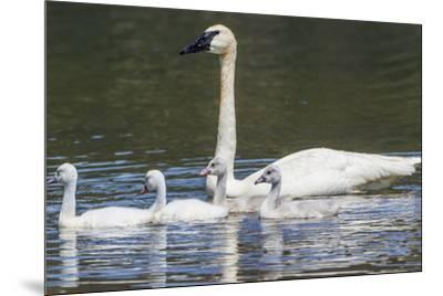 USA, Montana, Red Rock Lakes, Elk Lake, Trumpeter Swan swims with its chicks-Elizabeth Boehm-Mounted Premium Photographic Print