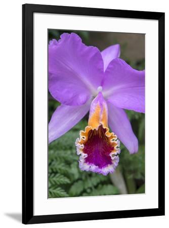 Purple Orchid, Usa-Lisa S^ Engelbrecht-Framed Premium Photographic Print