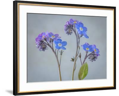 USA, Washington State, Seabeck of forget-me-not flowers.-Jaynes Gallery-Framed Photographic Print