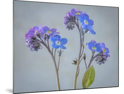USA, Washington State, Seabeck of forget-me-not flowers.-Jaynes Gallery-Mounted Photographic Print