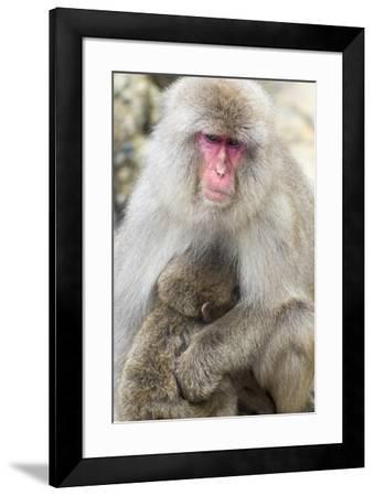 Asia, Japan, Jigokudani Monkey Park, Monkey Nursing Her Young-Hollice Looney-Framed Premium Photographic Print