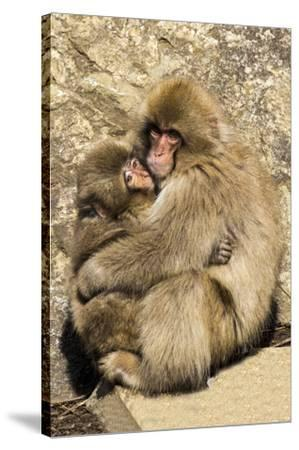 Asia, Japan, Jigokudani Monkey Park, Monkey Cuddling with Young-Hollice Looney-Stretched Canvas Print