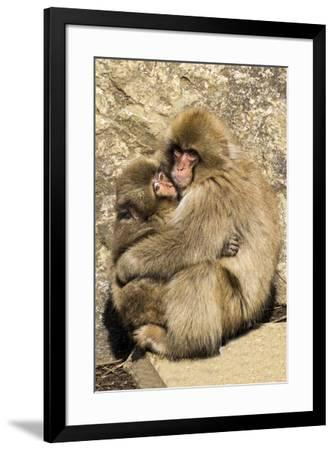 Asia, Japan, Jigokudani Monkey Park, Monkey Cuddling with Young-Hollice Looney-Framed Premium Photographic Print