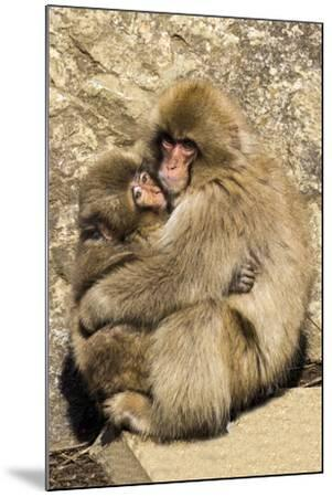 Asia, Japan, Jigokudani Monkey Park, Monkey Cuddling with Young-Hollice Looney-Mounted Premium Photographic Print