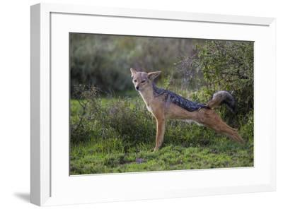 Africa. Tanzania. Black-backed jackal stretches after a nap, Serengeti National Park.-Ralph H^ Bendjebar-Framed Premium Photographic Print