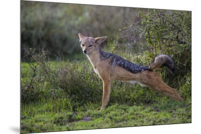 Africa. Tanzania. Black-backed jackal stretches after a nap, Serengeti National Park.-Ralph H^ Bendjebar-Mounted Premium Photographic Print