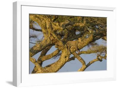 Africa. Tanzania. African leopard napping in a tree, Serengeti National Park.-Ralph H^ Bendjebar-Framed Premium Photographic Print